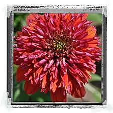Echinacea Double Scoop Orangeberry