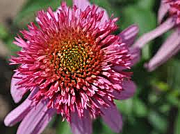 Echinacea Double Scoop bubble Gum