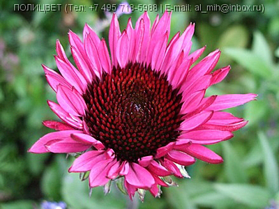 Echinacea Fatal-Attraction