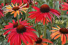 Echinacea Hot-Summer